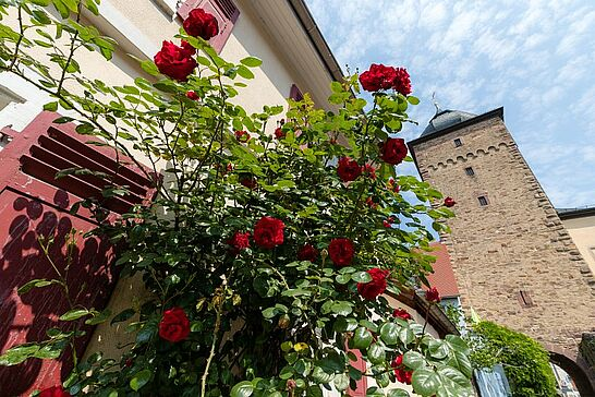 25 Rosen in der Durlacher Altstadt - Rosen schmücken in der Durlacher Altstadt zahlreiche Häuser. (31 Fotos)