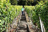 Auch die Trauben für den Turmbergwein müssen dieses Jahr früher gelesen werden (Archivbilder). Fotos: cg