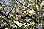 Apfelblüte. Foto: cg
