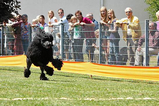 02 Pudelrennen - Zum traditionellen Pudelrennen an Christi Himmelfahrt luden die Pudelfreunde auf ihr Vereinsgelände in Durlach ein. (51 Fotos)