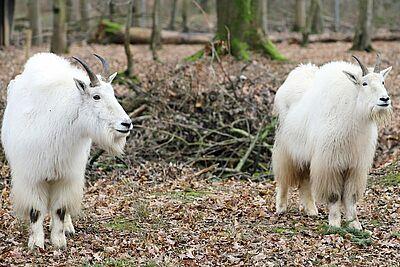 Zwei Schneeziegen im Tierpark Oberwald. Foto: pia