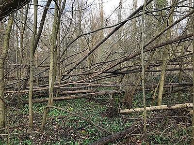 Umgestürzte Eschen im Stadtwald Karlsruhe. Fotos: Forstamt / Stadt Karlsruhe