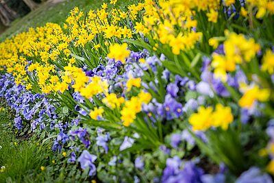 Das Durlacher Gartenbauamt sorgt im Schlossgarten auch in diesem Jahr für eine wunderbare Narzissenblüte. Foto: cg