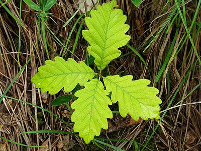 Die Eichensämlinge müssen an lichtere Orte im Wald umgezogen werden. Foto: Harald Matern / Pixabay