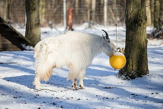 31 Tierpark Oberwald im Winter - Mitten im Oberwald liegt die Außenstelle des Karlsruher Zoos: der Tierpark Oberwald – auch im Winter einen Besuch wert. (65 Fotos)