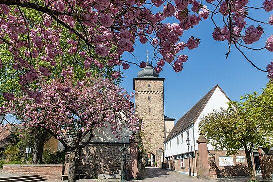 11 Kirschblüte am Basler Tor / Nikolauskapelle - Ein Traum in Rosarot ist jedes Jahr im April vor dem Basler Tor zu erleben. (8 Fotos)
