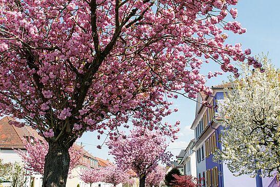 17 Kirschblüte in der Untermühlsiedlung - Ein Traum in Rosarot ist jedes Jahr im April der Untermühlsiedlung zu erleben. (21 Fotos)