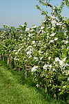 Obstplantage des Aspichhofs. Foto: Aspichhof