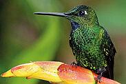 Ein Kolibri auf dem Aufforstungsgelände in Ecuador. Foto: H. Brieschke