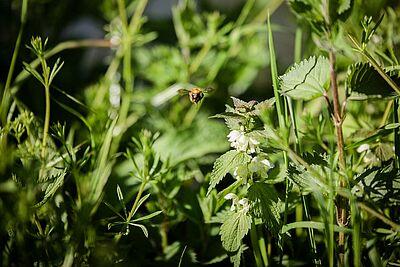 Artenvielfalt durch extensive Bewirtschaftung städtischer Wiesen. Foto: cg