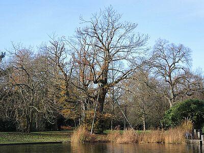 Esskastanie ist Baum des Jahres 2018. Foto: Stadt Karlsruhe