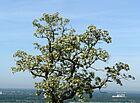 Akazienblüte am Turmberg