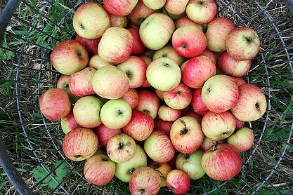Die eigene Apfelernte zu Saft pressen lassen. Foto: cg