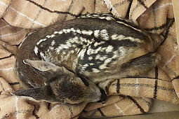 Dieses Rehkitz wurde vergangenes Jahr im Oberwald gefunden. Die Mutter (Rehgeiß) wurde von Hunden in einen Zaun getrieben und ist dort verendet. Foto: Forstamt