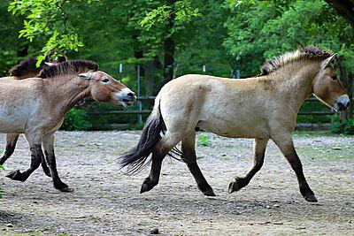 Przewalski-Hengst Cam (rechts) hat bereits Bekanntschaft mit den beiden Stuten gemacht. Dabei geht es mit Tritten und Bissen durch die Weibchen etwas ruppiger zu. Foto: Timo Deible/Zoo Karlsruhe