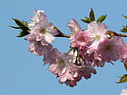 japanische Kirscheblüte
