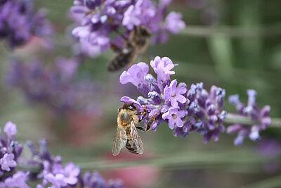 Lavendel als Futter für Bienen. Foto: cg