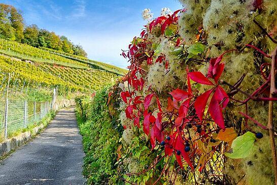 18 Goldener Herbst am Turmberg - Unser Spaziergang führte uns zum Turmberg und durch den Weinberg des Staatsweingutes Karlsruhe-Durlach. (29 Fotos)