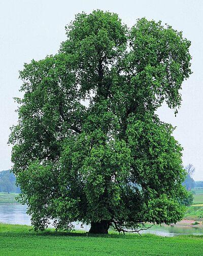 Flatter Ulma ist Baum des Jahres 2019. Foto: A. Roloff
