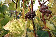 Herbst im Weinberg. Foto: cg