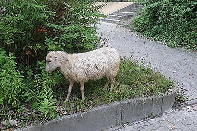 Ausreißer-Schaf sorgte am Donnerstagmorgen für Aufsehen. Foto: pol