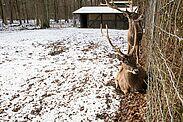 Die Sikahirsche im Tierpark Oberwald. Foto (Archiv): cg