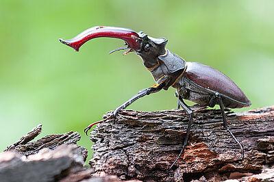 """Das imposante """"Geweih"""" des Hirschkäfer-Männchens ist eigentlich der extrem vergrößerte Oberkiefer des Käfers. Foto: Torsten Bittner / LUBW"""