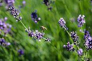 Lavendel als Futterpflanze, die auch noch wunderbar ausschaut. Foto: cg