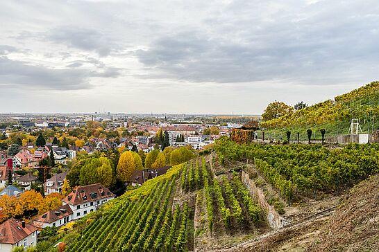 22 Herbst-Spazierung durch den Durlacher Weinberg - Unser Spaziergang führte uns zum Turmberg und durch den Weinberg des Staatsweingutes Karlsruhe-Durlach. (41 Fotos)