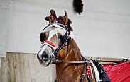 Haflinger Tommy. Foto: RVD