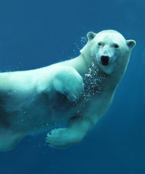 Polar bear swimming in ocean - photo#39